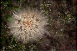 Dandelion Head By Dennis Wood
