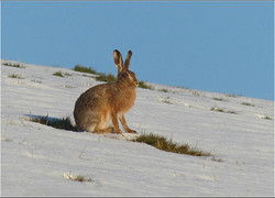 Brown Hare - Lepus capensis  .jpg