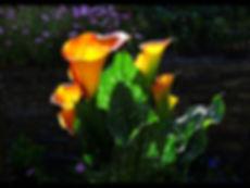 Calla lilies in the sun.jpg