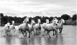 Running Camargue Horses By Chris Nicholls