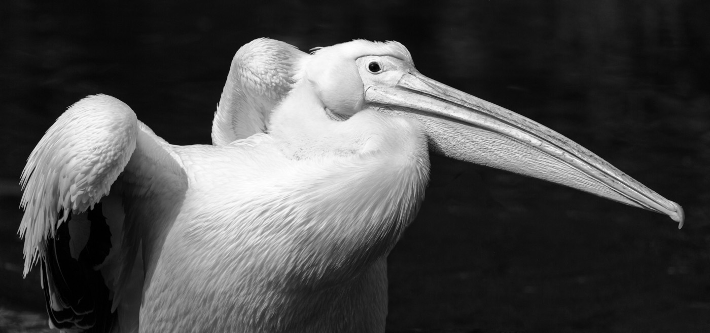 Great white Pelican.jpg