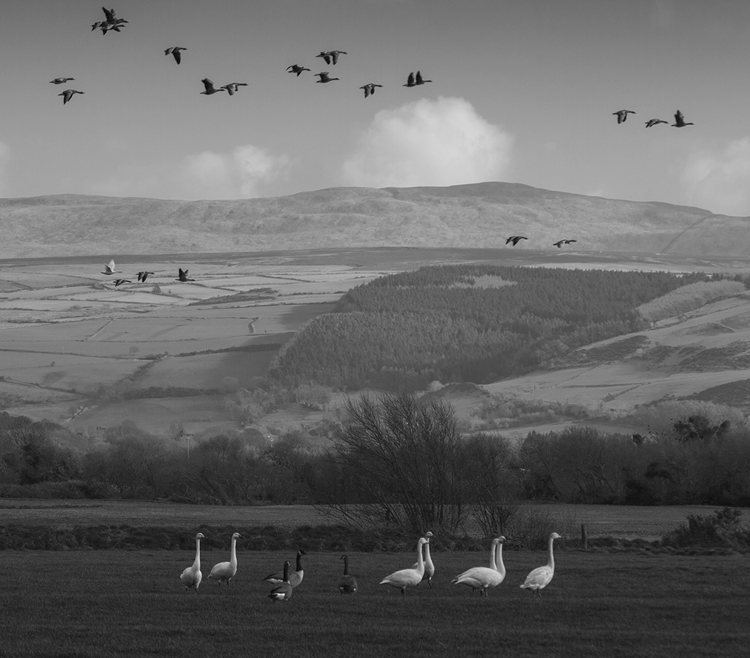 Whooper Swans and Canada Geese at the Cronk.jpg
