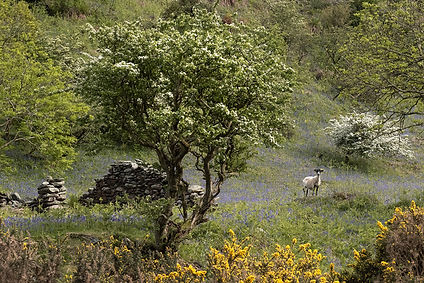 Bluebells in Sulby Glen.jpg