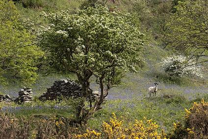 Bluebells in Sulby Glen.jpg