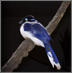 Exotic Jay
