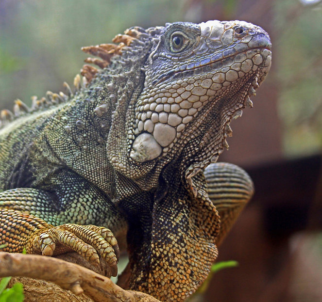 Bearded dragon iguana.jpg