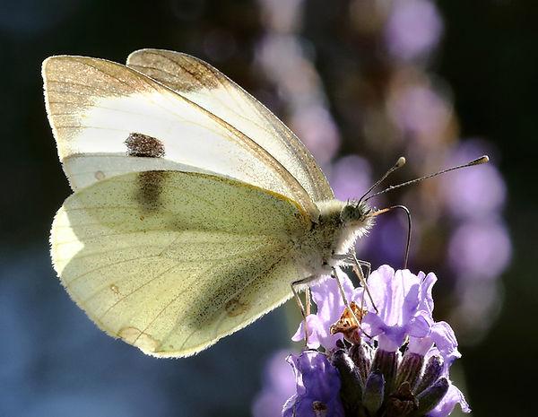 butterfly feeding jpg.jpg