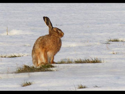 Brown Hare In Winter
