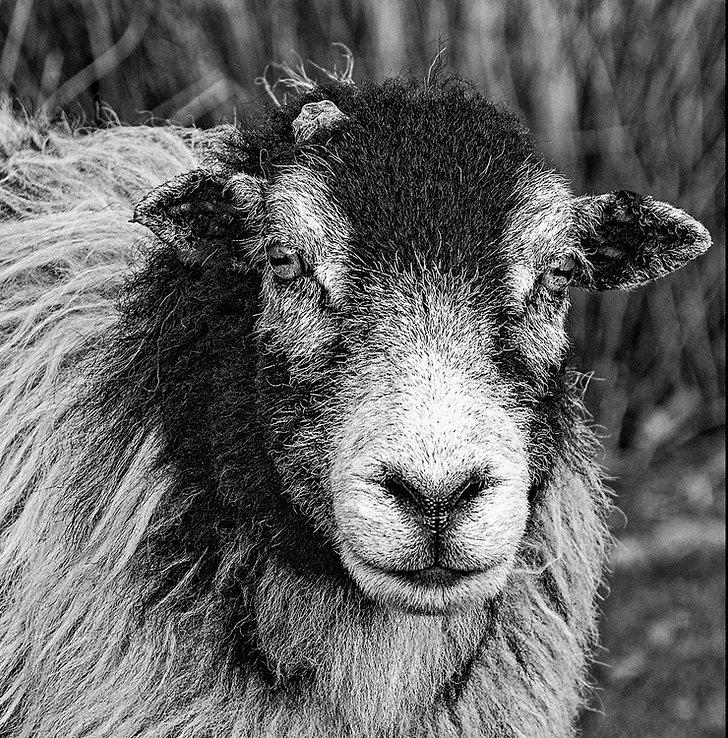 Sheep Stare.jpg