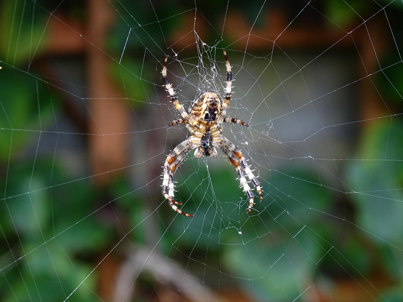 garden spider copy.jpg