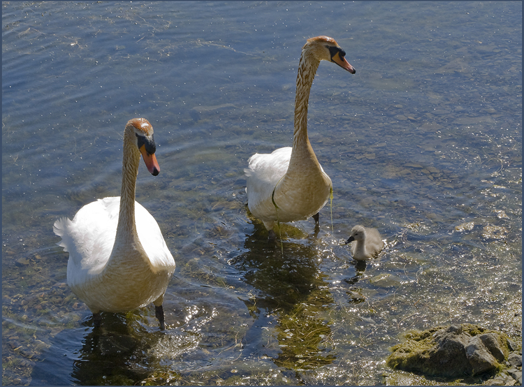 Swans with cygnet Scarlett.jpg