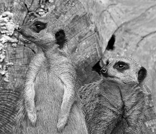 Meerkats DPI.jpg