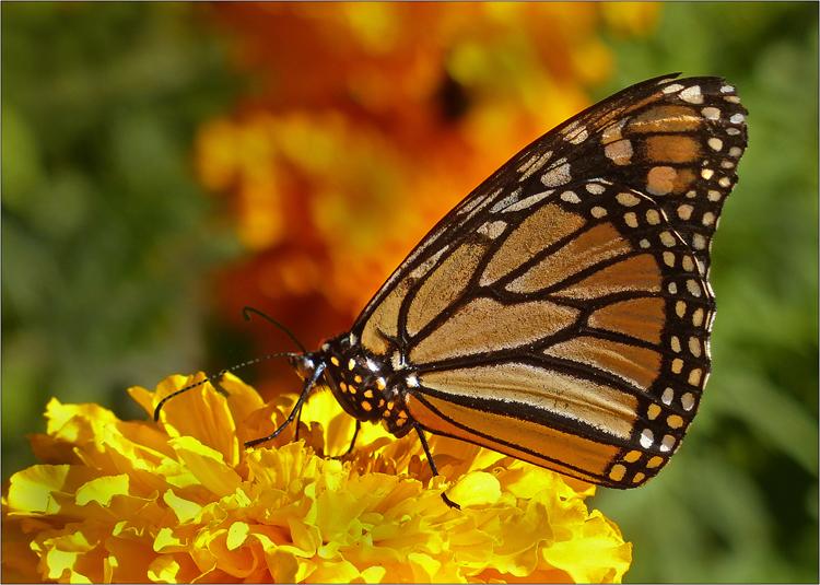 Monarch Butterfly - NZ .jpg