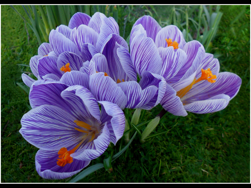Crocuses By Reuben Allan