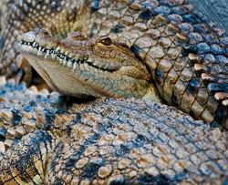 02 crocodile sandwich.jpg