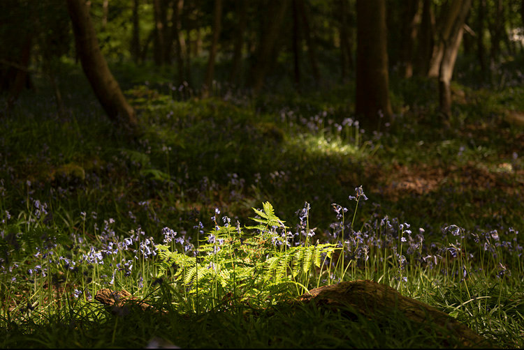 Blubells in Ballaglass.jpg