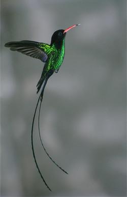 The Doctor Hummingbird
