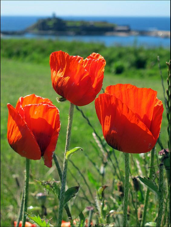 Headland poppies By Tony Faragher