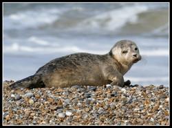 Seal Pup.jpg