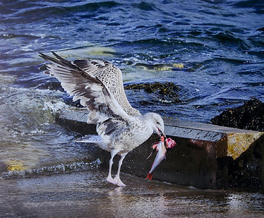 Seagull with fish - Copy.jpg