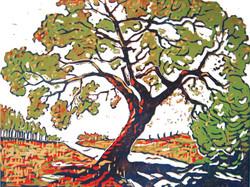 Livermore Oak