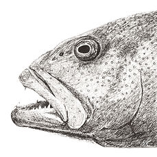 Coral-Trout-drawing-web.jpg