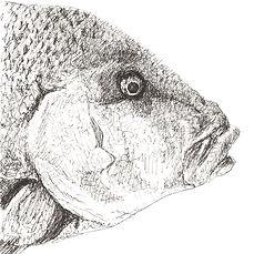 red-emperor-fish-drawing.jpg