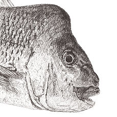 snapper-drawing-black-and-white.jpg