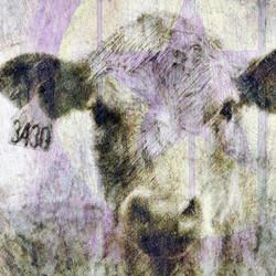 cowsstarsketch
