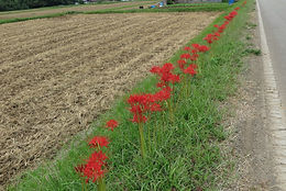 A red spider lily is thought to be a inauspicious flower in Japan.