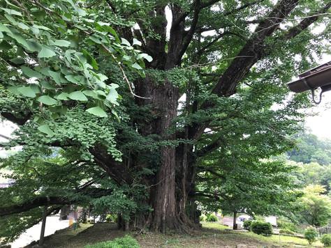 "Shimojo big ginkgo tree and ""ohketsu"" potholes in Kumamoto Prefecture."