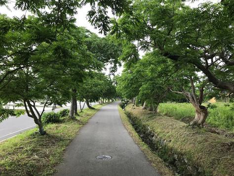 Roadside Japanese wax trees in Yanagisaka-Sone, the outskirts of Kurume City, Fukuoka Prefecture.