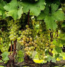 uvas verdes guanovit.jpg