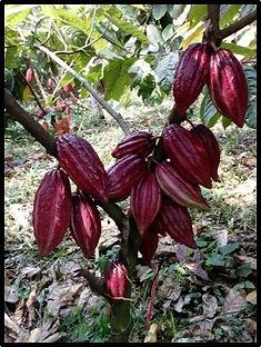 cacao guanovit.jpg