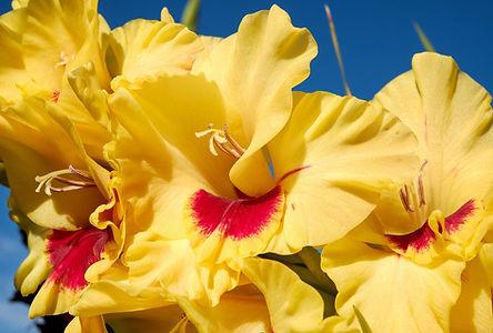 gladiolus-2670919_1920.jpg