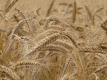 wheat-8762_1920.jpg