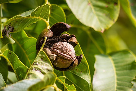 walnut-970451_960_720.jpg