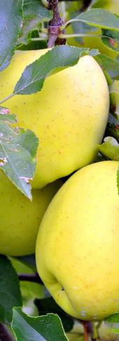 Manzana amarilla