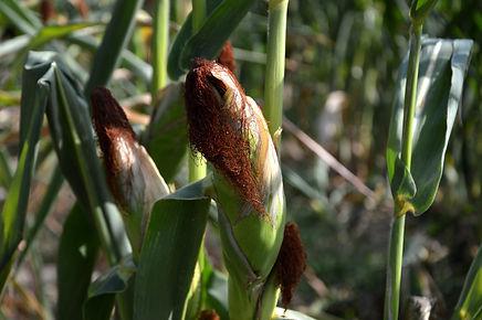 corn-3595021_1920.jpg