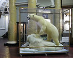 Белый медведь в музее арктики и антарктики недалеко от отеля андреевский