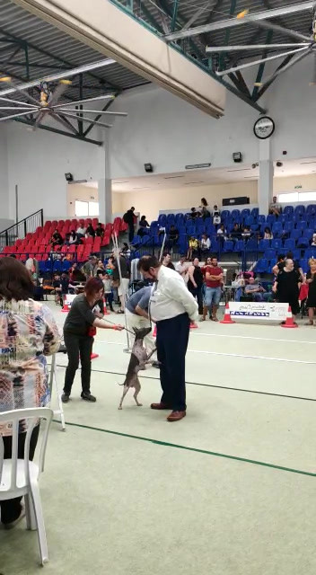 Israel Terrier Club show