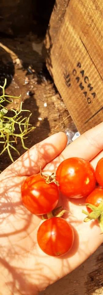 Tomates Cherry en el huerto de Laura