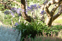 Agapanthe sous olivier