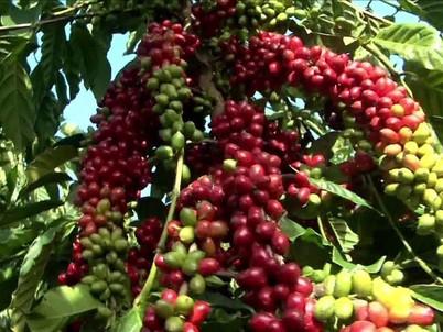 Produção de cafés especiais quase dobra em três anos no Brasil