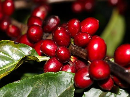 Em Rondônia produção de café cria alternativa ao desmatamento