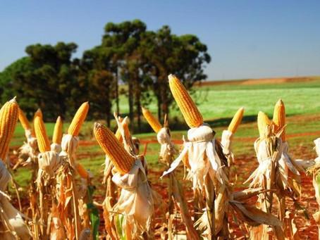Milho: alimentação animal pode ser afetada pela baixa oferta do grão