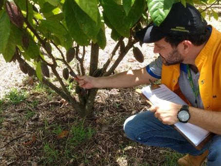 Levantamento feito pela Idaron confirma ausência da 'Monilíase do cacaueiro' no Estado de Rondônia