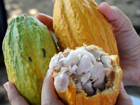Produtores familiares em Rondônia recebem sementes de cacau para produção de mudas clonais