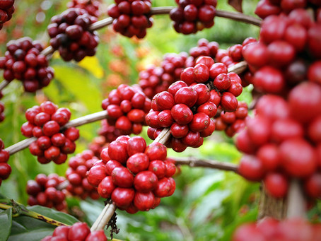 Evento debaterá rendimento, qualidade e produtividade do café em Rondônia