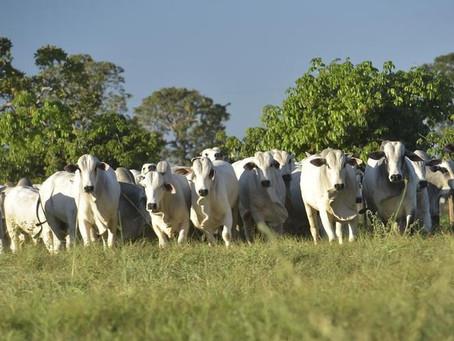 Preços do boi gordo sobem com final de safra atípico, aponta Safras